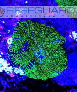 Rhodactis Ultra green mushroom