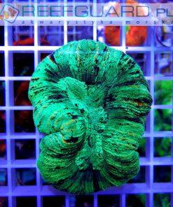 Trachyphyllia australie Green