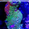 Zoanthus MIX kolor Premium XXL