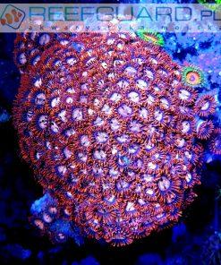 Zoanthus red orange L