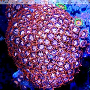 Zoanthus red orange L