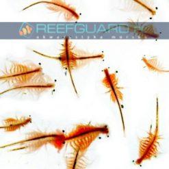 reefguard szczecin akwarystyka morska żywy pokarm akwarium morskie pokarm dla ryb