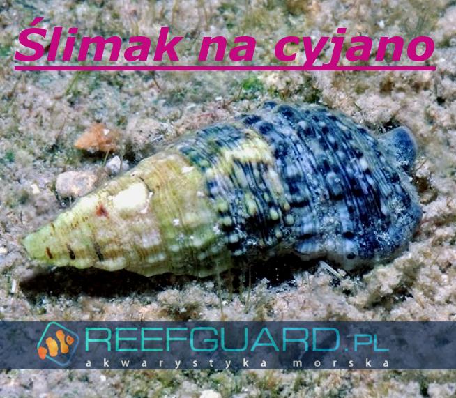 Reefguard akwarystyka morska akwarium morskie szczecin ślimak morski slimak na glony ślimak na detrytus
