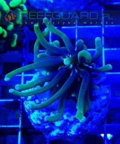 Heliofungia actiniformis Deep Green S koralowce LPS szczecin akwarium morskie sklep akwarystyka morska szczecin