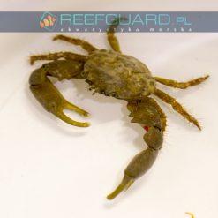Mithraculus sculptus Mitrax crab na glony krab na glony na valonie szczecin reefguard akwarium morskie