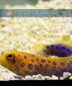 Opistognathus rosenblatt reefguard akwarium morskie szczecin akwarystyka morska