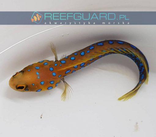 reefguard.pl szczecin akwarystyka morska ryby morskie ryba morska akwarium