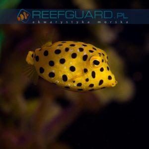 Ostracion cubicus Yellow boxfish Kostera gruzełkowata