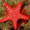 Reefguard.pl akwarystyka morska rozgwiazda rozgwiazdy