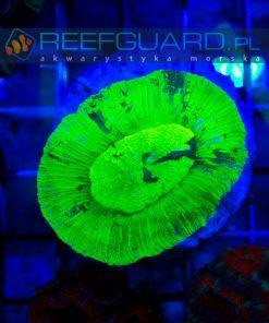 reefguard szczecin akwarium morskie akwarystyka morska koralowce lps