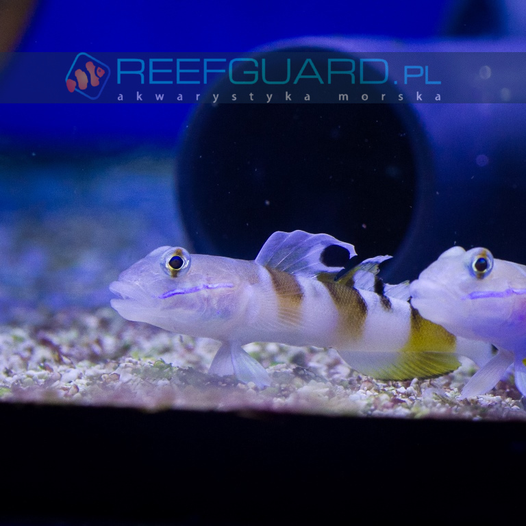 Valenciennea wardi babka kopiąca ryby morskie szczecin sklep z akwarystyka morska