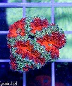 Acanthastrea lordhowensis Red A005 sklep akwarium morskie szczecin reefguard