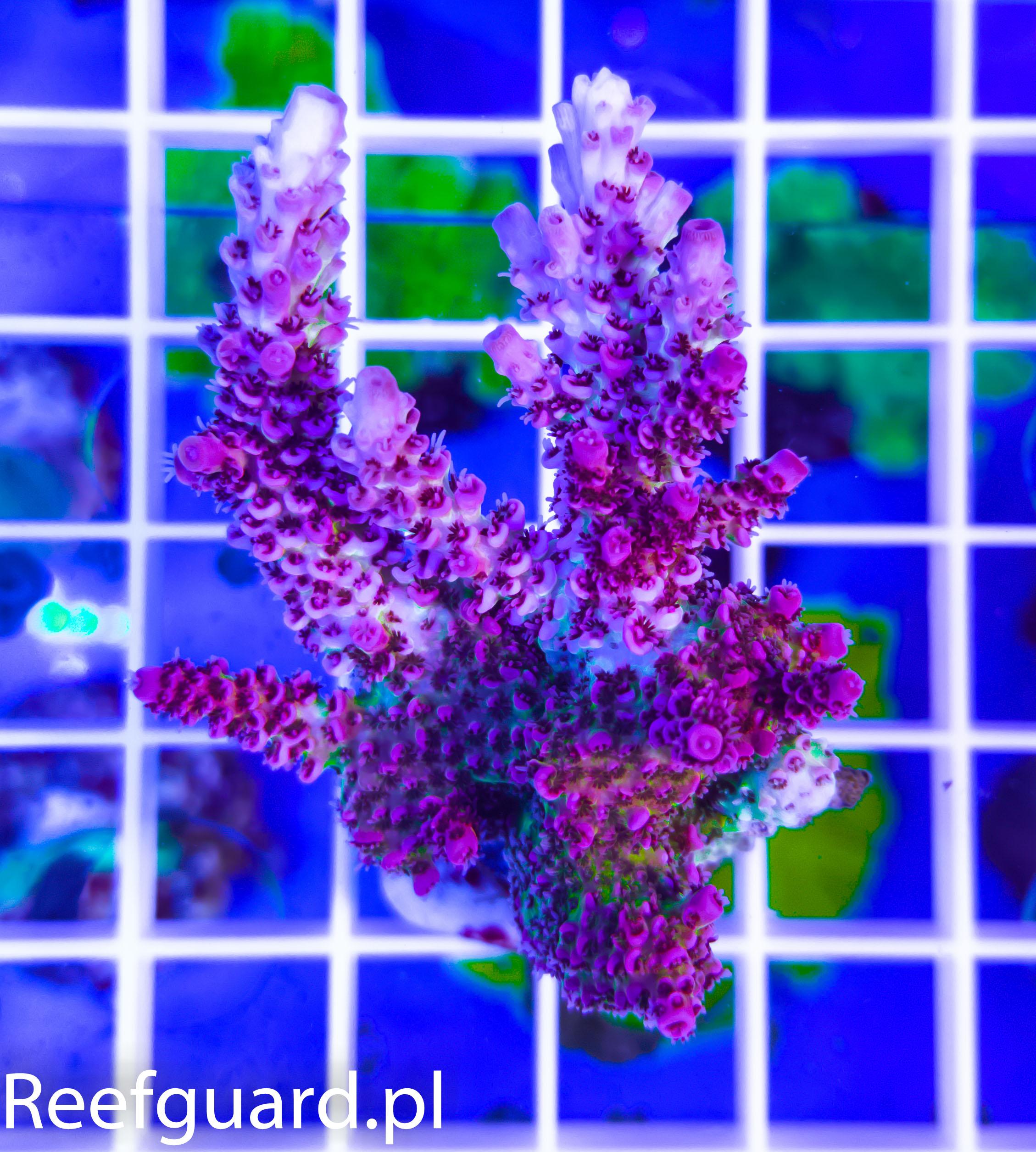 Acropora sp. Pink Green reefguard koralowce SPS akwarystyka morska szczecin