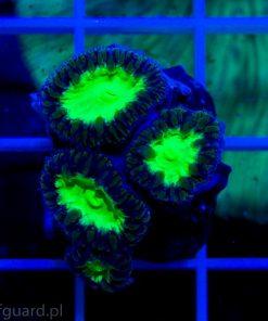 Blastomussa wellsi Green Super fluo koralowiec LPS szczecin sklep reefguard.pl