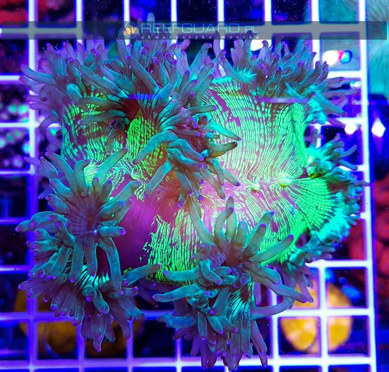Catalaphyllia green blue tip WYSIWYG C007