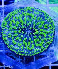 Cycloseris Green Blue Australia C001 sklep akwarystyka morska szczecin reefguard