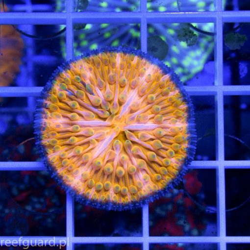 Cycloseris sp Ultra Orange Blue Ring Australia C 002 akwaystyka szczecin reefguard koralowce lps