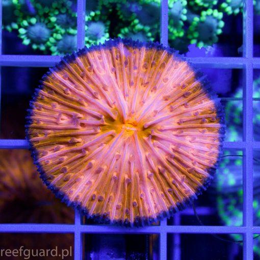 Cycloseris sp Ultra Orange Blue Ring Australia C 004 sklep z akwarystyka morska szczecin reefguard