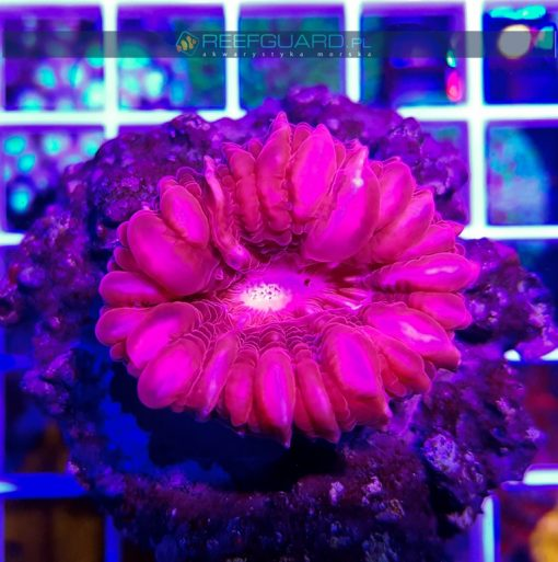 Cynarina lacrymalis Red Pink WYSIWYG C008