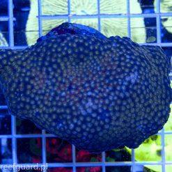 Cyphastrea sp. Golden Eye sklep z koralowcami szczecin