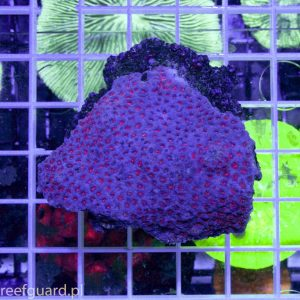 Cyphastrea sp. Red akwarium morskie w szczecinie sklep reefguard
