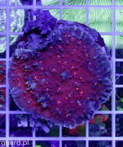 Echinophyllia aspera Deep Red Koralowce szczecin akwarystyka morska akwarium szczecin