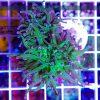 Euphyllia glabrescens Green Purple Pink Tip