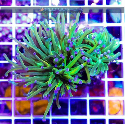 Euphyllia glabrescens Green Yellow Orange purple Tip Australia reefguard szczecin