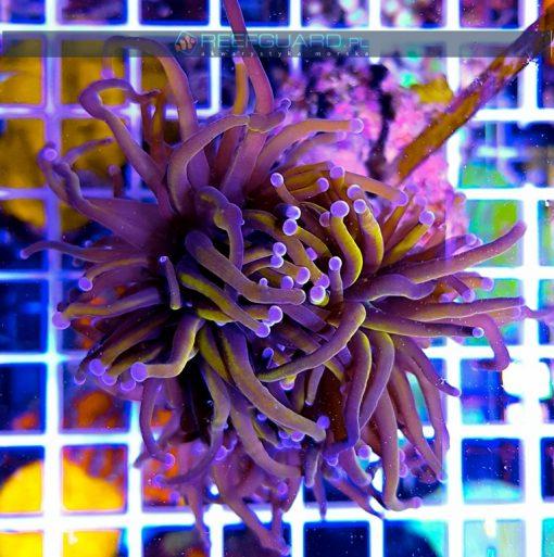 Euphyllia glabrescens Orange Australia Blue tip szczecin sprzedam reefguard.pl