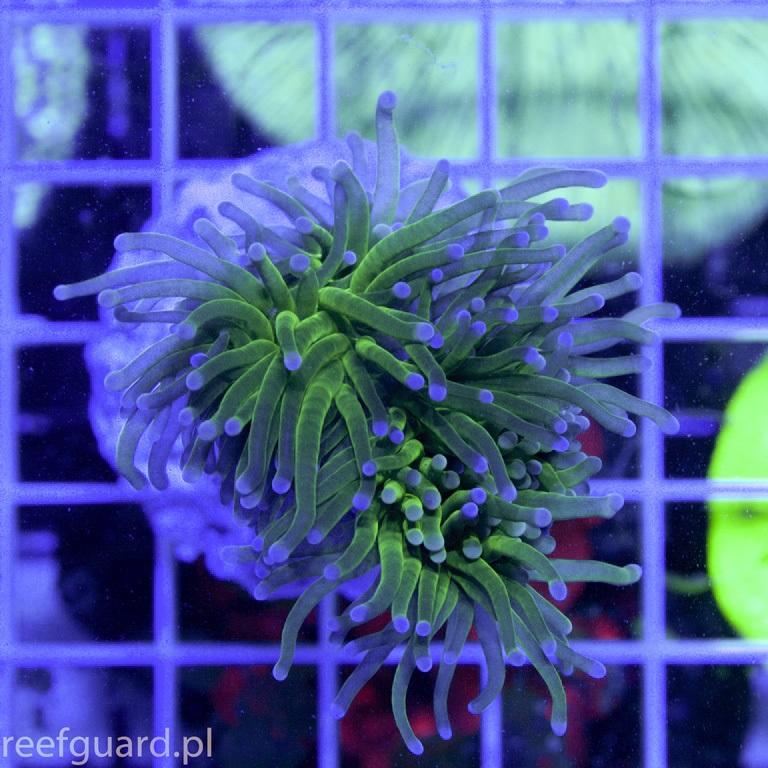 Euphyllia glabrescens Torch green E002 Korale Reefguard Szczecin akwarystyka morska