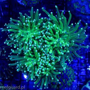Euphyllia glabrescens Torch intensively Green E001 Koralowiec LPS szczecin reefguard.pl