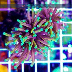 Euphyllia glabrescens Multicolor Yellow Orange Aquamarine Tip Australia szczecin reefguard akwarystyka morska