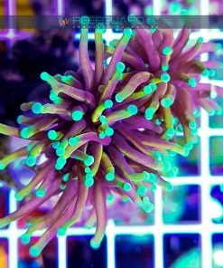 Euphyllia glabrescens DRAGON SOUL