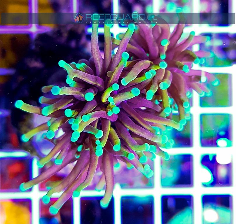 Euphyllia glabrescens Yellow Orange Aquamarine Tip Australia szczecin reefguard akwarystyka morska