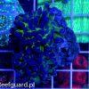 Euphyllia paraancora Green Koralowce LPS szczecin reefguard
