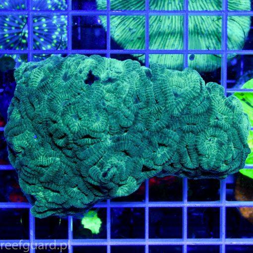 Favia sp. Green koralowiec LPS szczecin sklep z akwarystyka morska