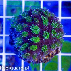 Galaxea fascicularis bicolor M korale reefguard akwarystyka morska szczecin