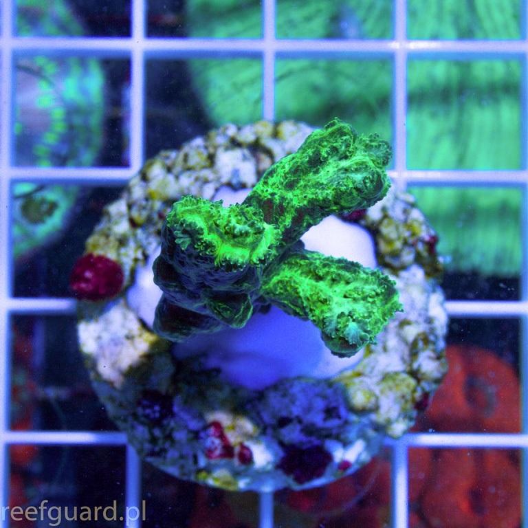 Hydnophora exesa Green Fluo H001 Reefguard Szczecin koralowiec LPS