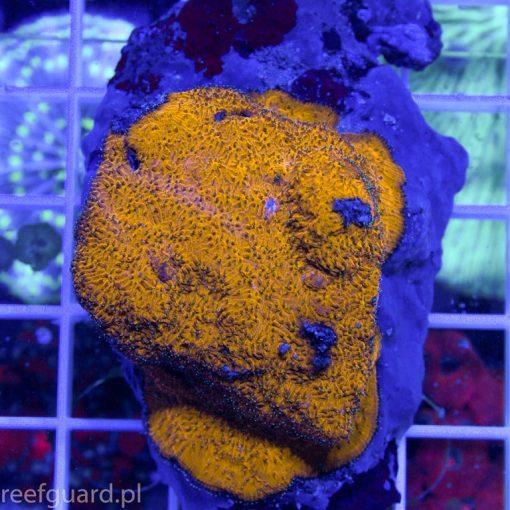 Leptoseris sp Super Orange koralowce szczecin LPS reefguard