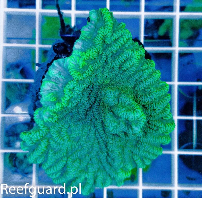 Merulina ampliata Green Fluo reefguard szczecin akwarystyka morska