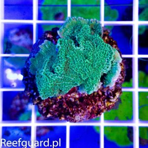 Montipora capricornis Green S Korale szczecin SPS reefguard akwarystyka morska
