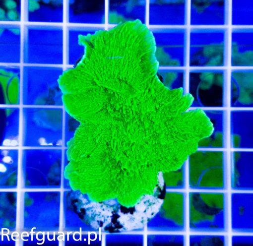 Montipora capricornis Green Fluo M korale szczecin Reefguard akwarium morskie