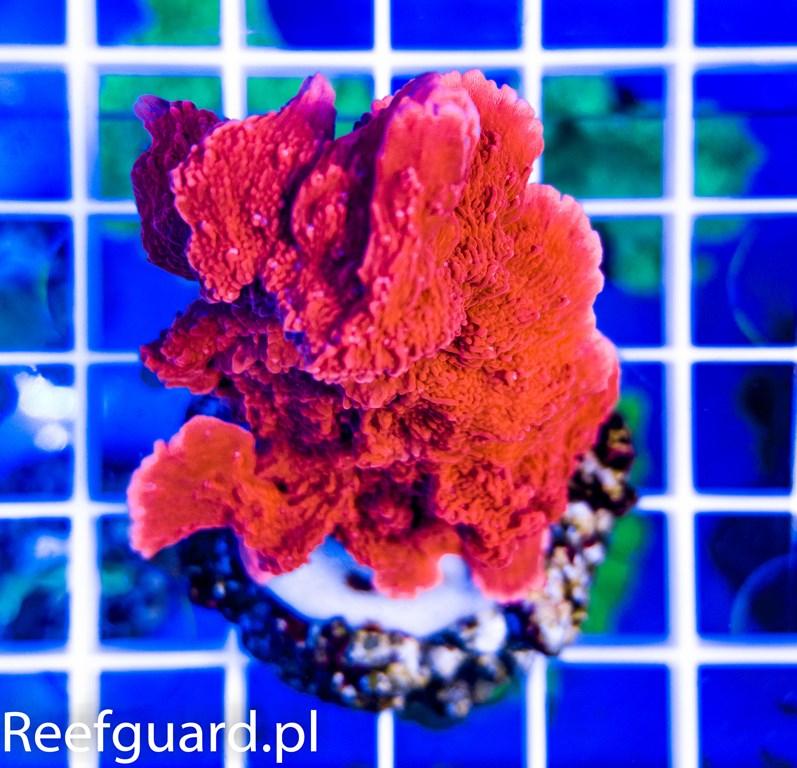 Montipora capricornis Red SPS szczecin akwarystyka morska reefguard