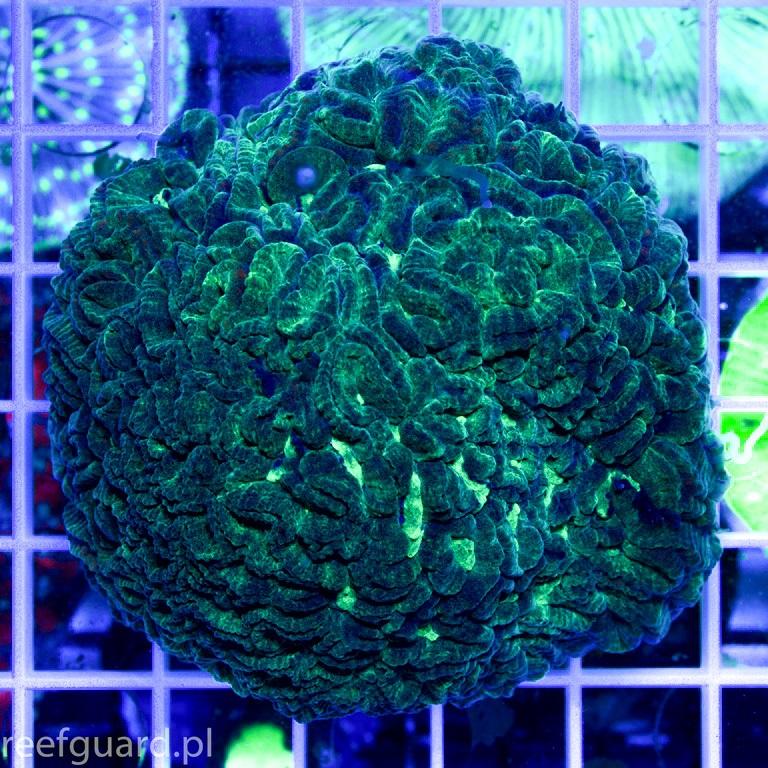 Platygyra sp. Green reefguard szczecin akwarystyka morska koralowce