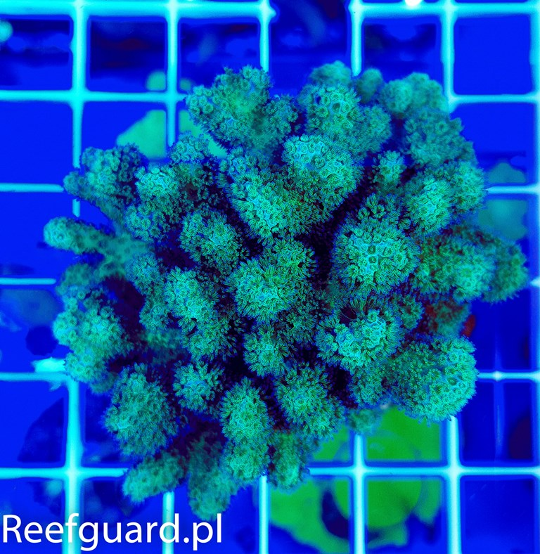 Pocillopora green ultra koralowce korale SPS szczecin reefguard
