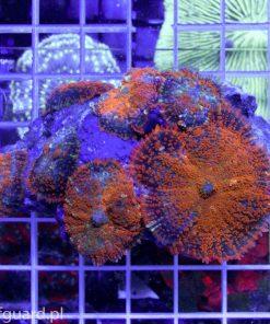 Rhodactis Orange Reefguard Szczecin akwarium morskie akwarystyka morska koralowce ryby