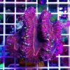Symphyllia Purple Pink reefguard