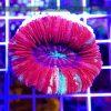 Trachyphyllia RED WYSIWYG T005 reefguard szczecin morskie akwarium