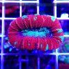 Trachyphyllia RED WYSIWYG T006 koralowce szczecin akwarium morskie reefguard