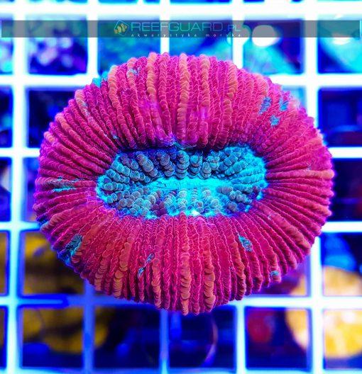 Trachyphyllia RED WYSIWYG T008 reefguard.pl akwarystyka morska szczecin